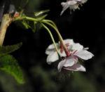 Mandelbaum Bluete weiß rot Prunus dulcis 06