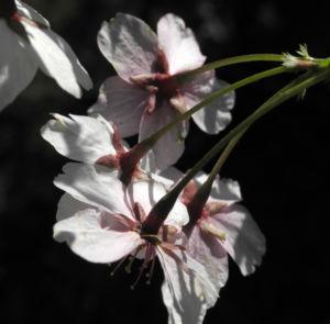 Mandelbaum Bluete weiß rot Prunus dulcis 27
