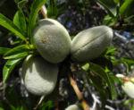 Mandelbaum Frucht gruen Prunus dulcis 01
