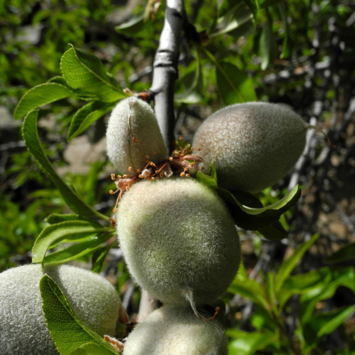 Mandelbaum Frucht gruen Prunus dulcis