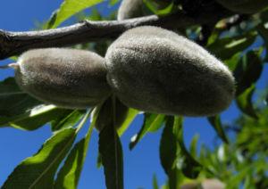 Mandelbaum Frucht gruen Prunus dulcis 04