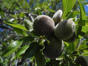 Mandelbaum Frucht gruen Prunus dulcis 06