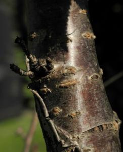 Mandelbaum Rinde rot braun Prunus dulcis 01