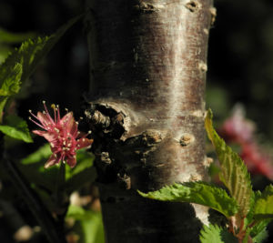 Mandelbaum Rinde rot braun Prunus dulcis 02