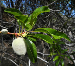 Mandelbaum Zweig Blatt Prunus dulcis 01