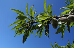 Mandelbaum Zweig Blatt Prunus dulcis 02