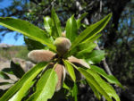 Bild: Mandelbaum Frucht grün Prunus dulcis