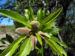 Zurück zum kompletten Bilderset Mandelbaum Frucht grün Prunus dulcis