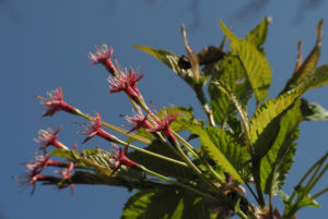 Mandelbaum verblueht rot Prunus dulcis 09