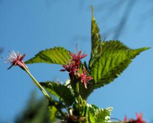 Mandelbaum verblueht rot Prunus dulcis 11