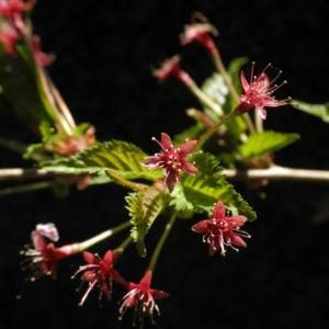 Mandelbaum verblueht rot Prunus dulcis 12