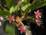 Bild: Mandelbaum Blüte weiß rot Prunus dulcis