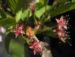Zurück zum kompletten Bilderset Mandelbaum Blüte weiß rot Prunus dulcis