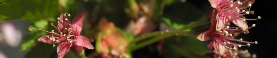 mandelbaum-bluete-weiss-rot-prunus-dulcis