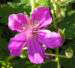 Zurück zum kompletten Bilderset Manescouts Reiherschnabel Blüte pink Erodium manescavii