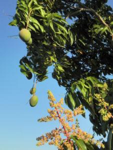 Mango Baum Bluete Frucht Blatt Mangifera indica 11