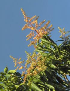 Mango Baum Bluete gelblich Mangifera indica 01