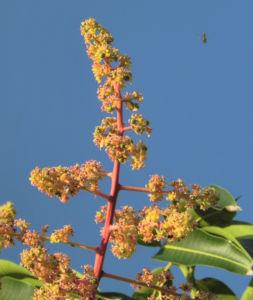 Mango Baum Bluete gelblich Mangifera indica 02