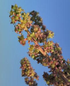 Mango Baum Bluete gelblich Mangifera indica 04
