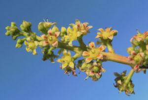 Mango Baum Bluete gelblich Mangifera indica 05