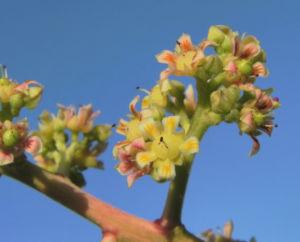 Mango Baum Bluete gelblich Mangifera indica 06