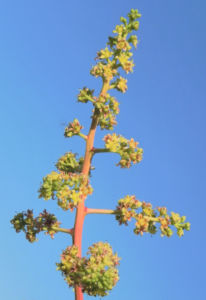 Mango Baum Bluete gelblich Mangifera indica 08
