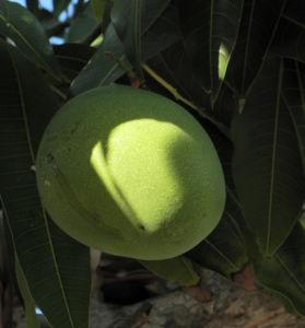 Mango Baum Frucht gruen Mangifera indica 01