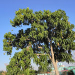 Mango Baum Mangifera indica 17