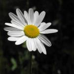 Margerite Bluete weiß Leucanthemum vulgare 01