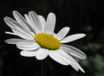 Margerite Bluete weiß Leucanthemum vulgare 04