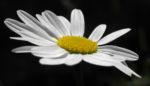 Margerite Bluete weiß Leucanthemum vulgare 05