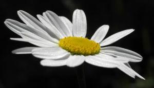 Margerite Blüte weiß Leucanthemum vulgare