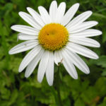 Margerite Gewoehnliche Wucherblume Bluete weiss Leucanthemum vulgare 01