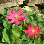 Margerite bunt Chrysanthemum 01