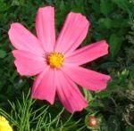 Margerite bunt Chrysanthemum 02
