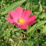 Margerite bunt Chrysanthemum 03