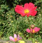 Margerite bunt Chrysanthemum 04