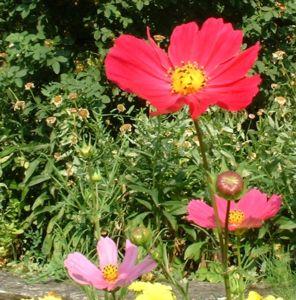 Bild: Margerite bunt Chrysanthemum