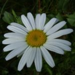 Margerite weisse Bluete Leucanthemum vulgare 01
