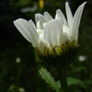 Margerite weisse Bluete Leucanthemum vulgare 02