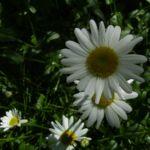 Margerite weisse Bluete Leucanthemum vulgare 03