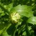 Zurück zum kompletten Bilderset Wiesen-Margerite Blüte weiß Leucanthemum vulgare