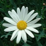 Bild: Margerite - Chrysanthemum