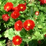 Bild: Massliebchen Blüte rot Bellis medicis