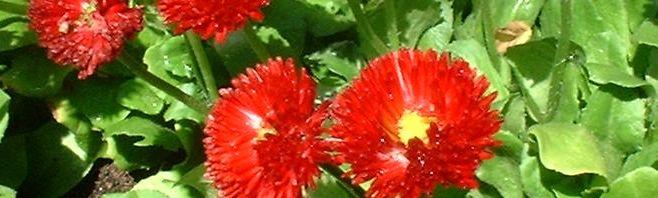 Anklicken um das ganze Bild zu sehen Massliebchen Blüte rot Bellis medicis