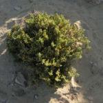 Meerestraube Uva del Mar Blatt gruen gelb Zygophyllum fontanesii 02