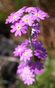 Mehl Primel Bluete rosa Primula farinosa 01
