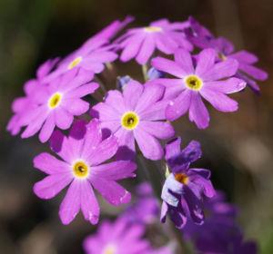Mehl Primel Bluete rosa Primula farinosa 02