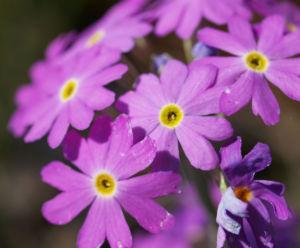 Mehl Primel Bluete rosa Primula farinosa 03