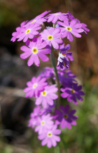 Mehl Primel Bluete rosa Primula farinosa 04